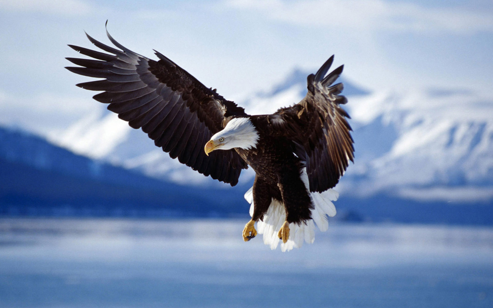 flying-bald-eagle-wallpaper