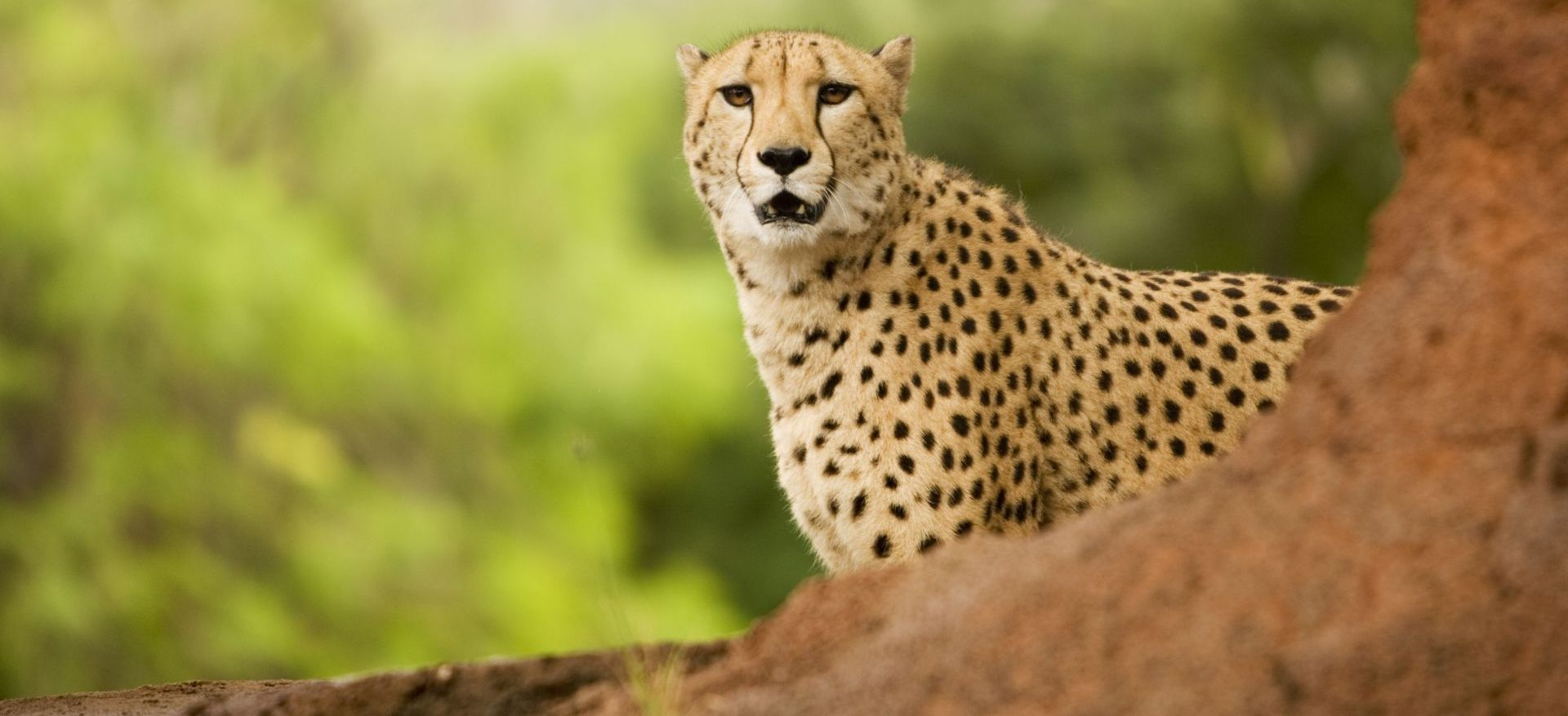 cheetah-replacement